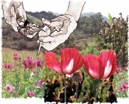 Dea report that teaches anyone how to grow opium cover photograph of poppies mightylinksfo