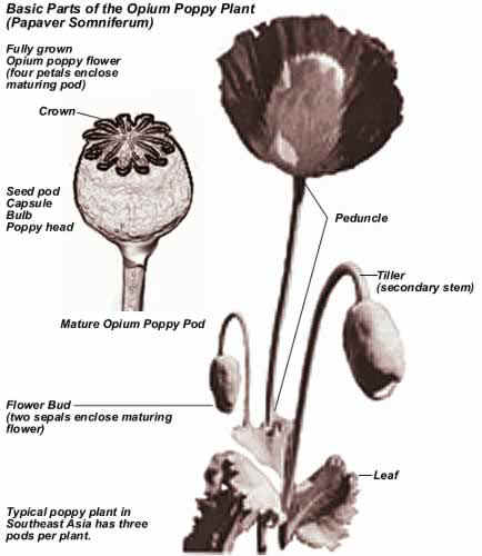 Dea report that teaches anyone how to grow opium basic parts of the opium poppy plant papaver somniferum mightylinksfo