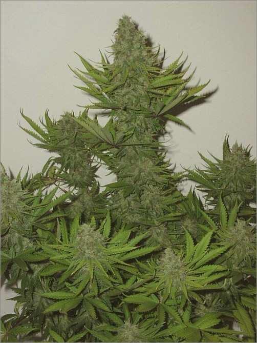 Grow Marijuana FAQ, Cannabis cultivation – marijuana ...